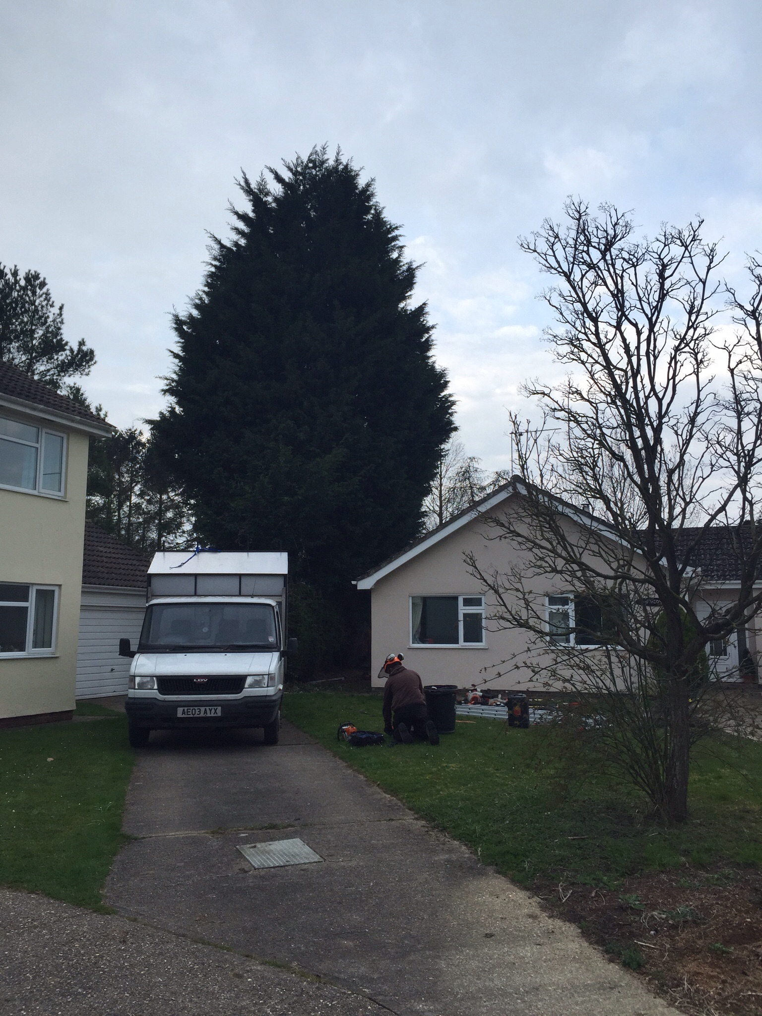 Conifer reductions Yaxley Suffolk  Image